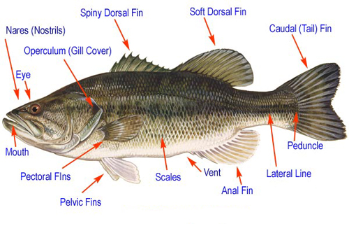 Untitled document for List of fish with fins and scales
